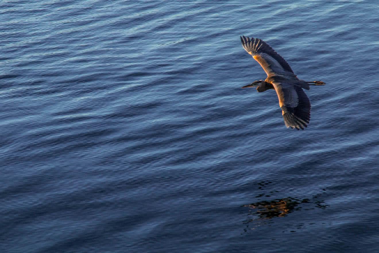 A Heron gliding towards shore in Desolation Sound