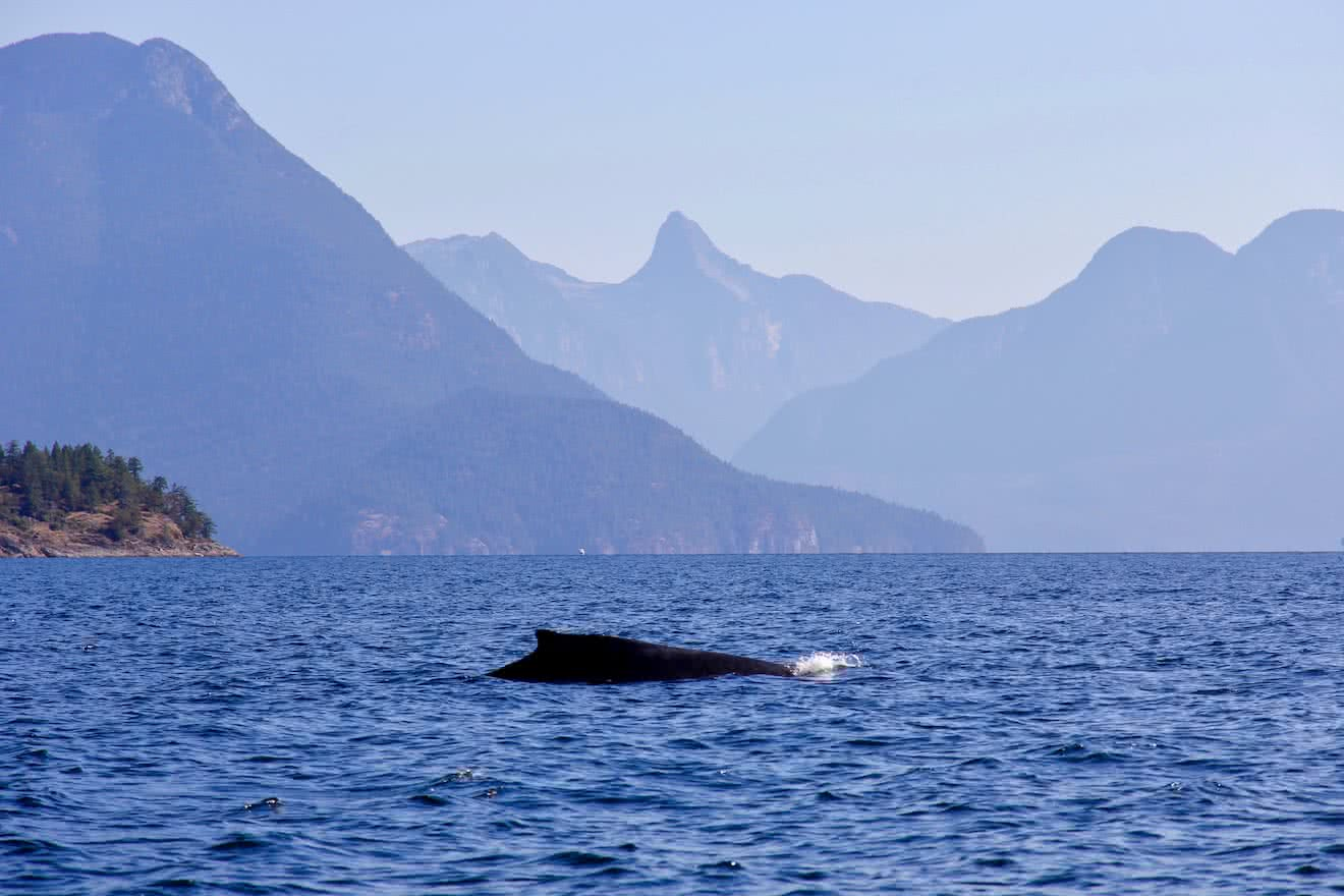 Larger wildlife such as humpback whales are increasingly common in Desolation Sound