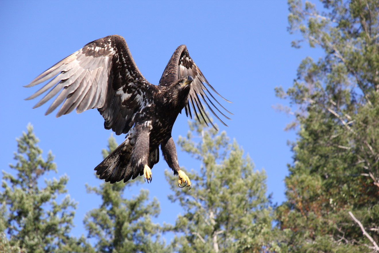 A juvenile bald eagle, one of the most commonly spotted wildlife in Desolation Sound