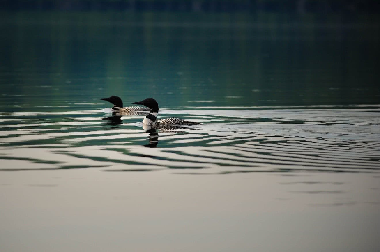 Waterfowl like ducks and loons are some commonly spotted wildlife in Desolation Sound