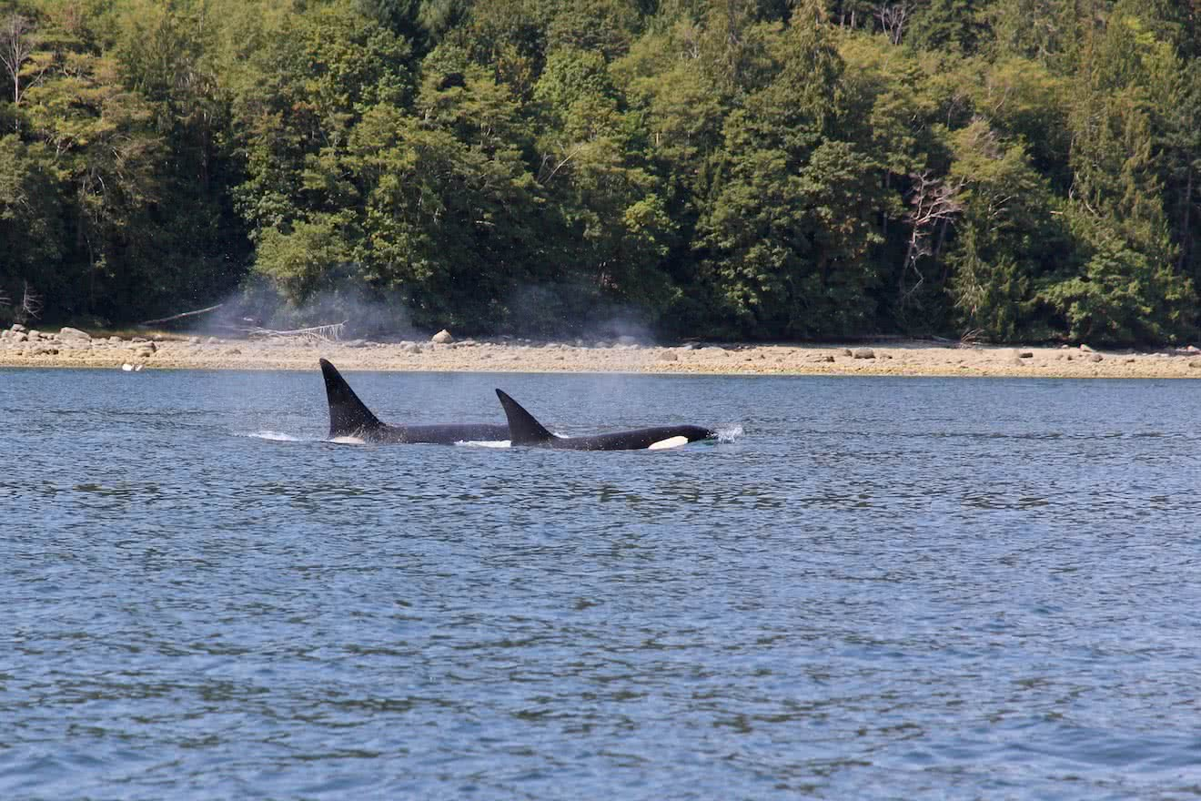 Transient Orcas are occasionally spotted on our tours and are a favourite for wildlife spotters