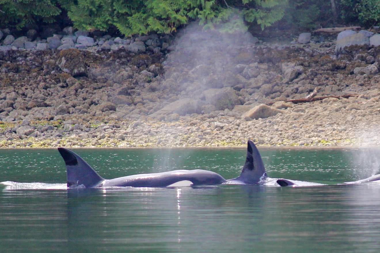 Two orcas in Okeover Inlet, Desolation Sound