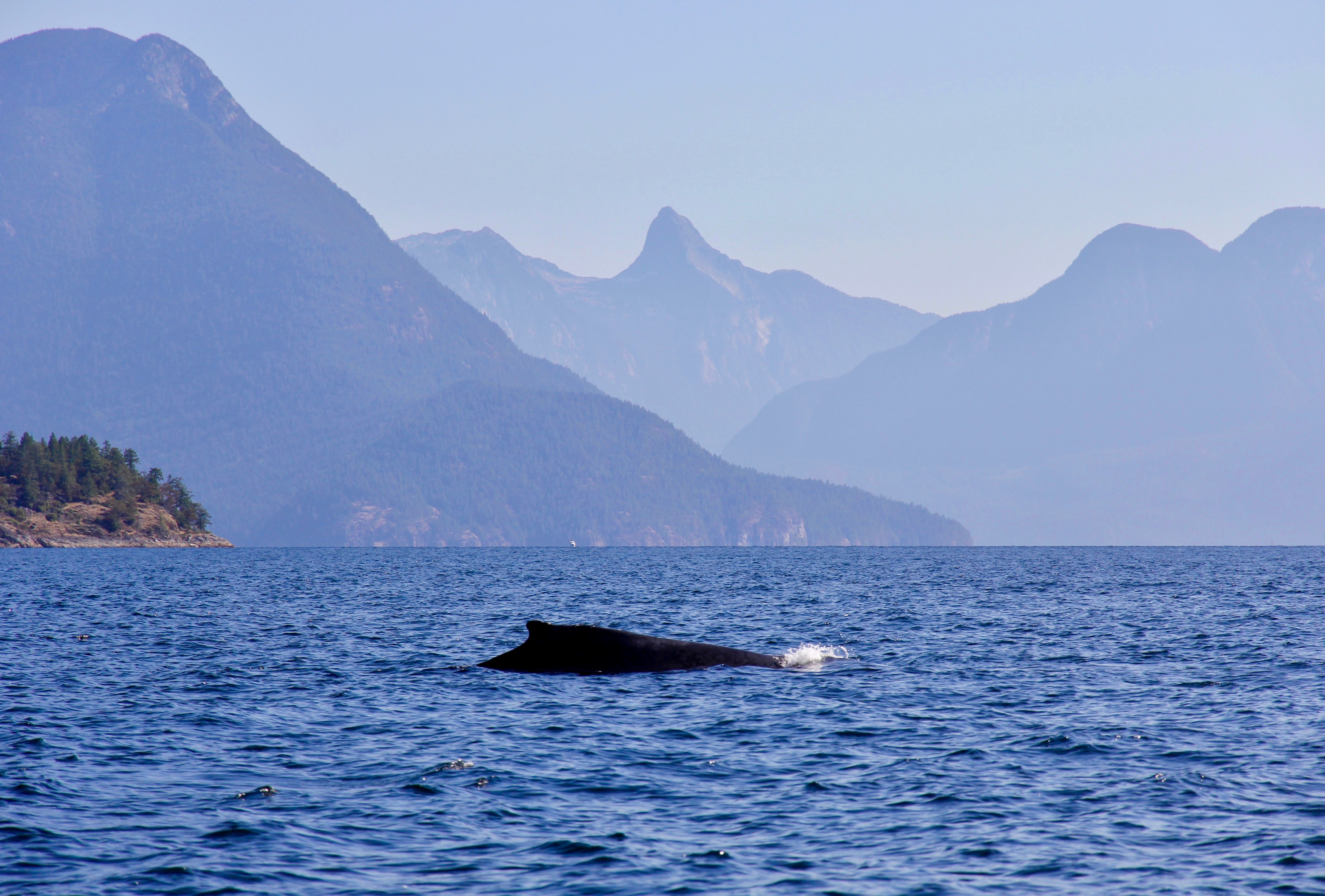 A humpback whale comes up for air in Desolation Sound