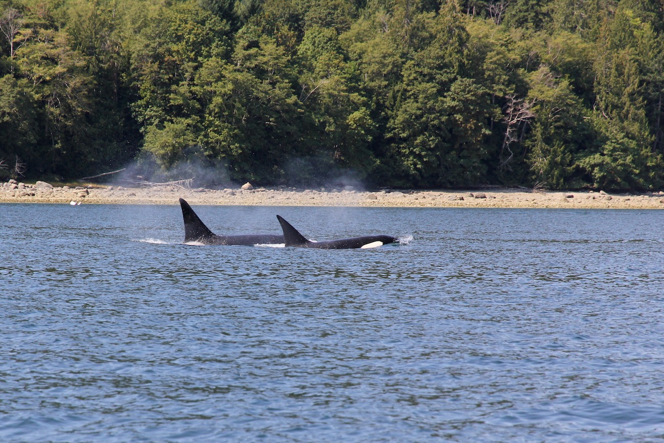 Two orcas in Desolation Sound