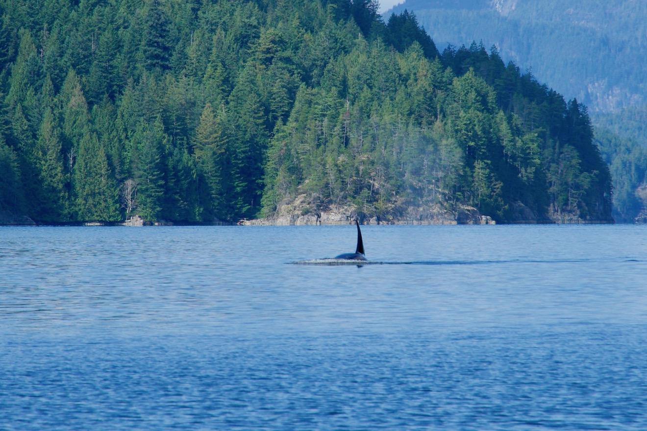 An orca comes up for breath in Lewis Channel in Desolation Sound